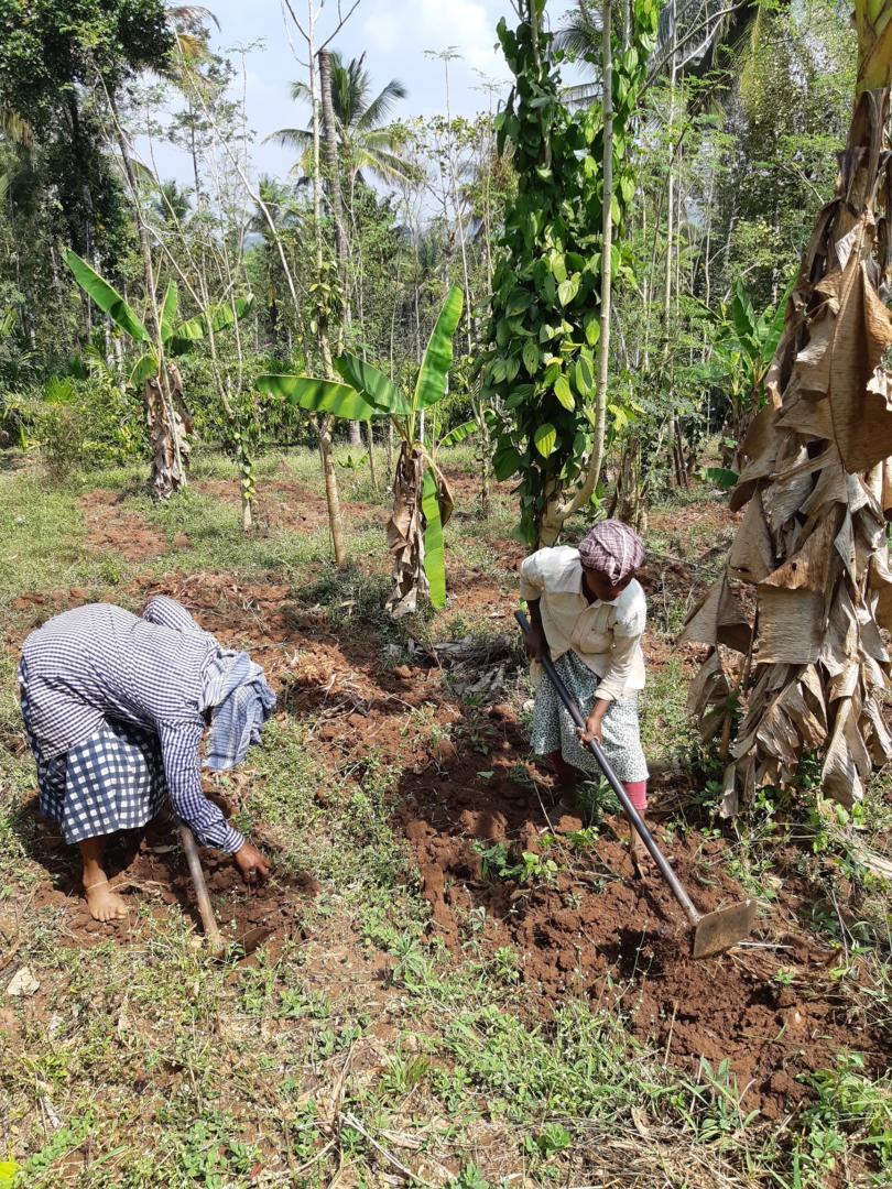 Récolte du curcuma - fermiers chez Vanamoolika